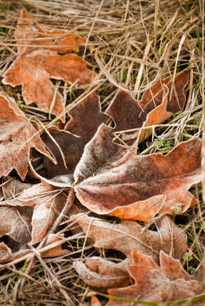 frost on autumn leaf