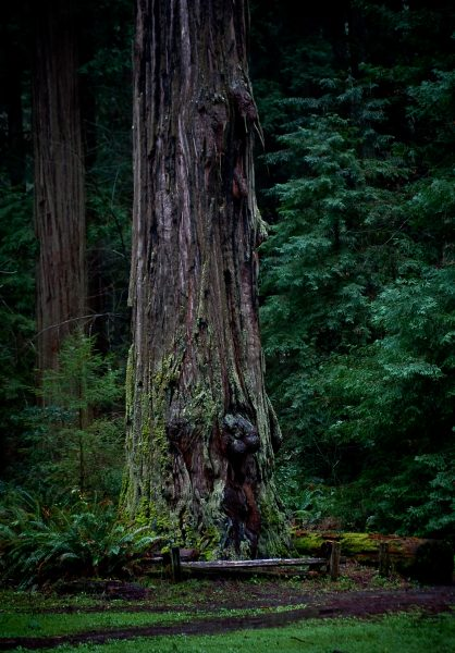 Redwood in the Rain