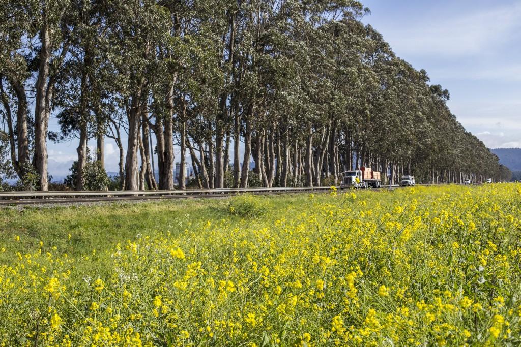 CorridorEucalyptusTrees