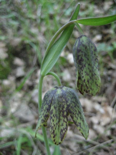 checker lily1