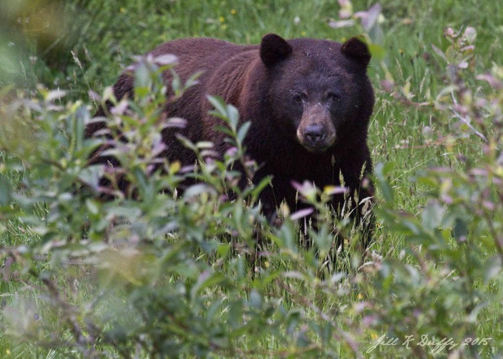Bear 2015 0032