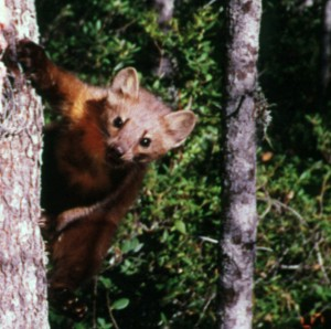 Humboldt Marten at Bait Station