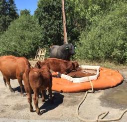 Thirsty cows drink from fire equipment. [Photo from InciWeb]