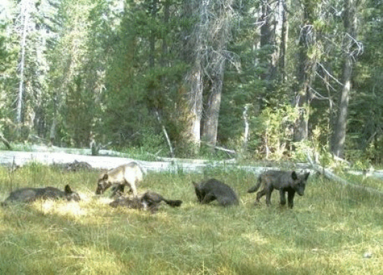wolf dept of fish and wildlife image