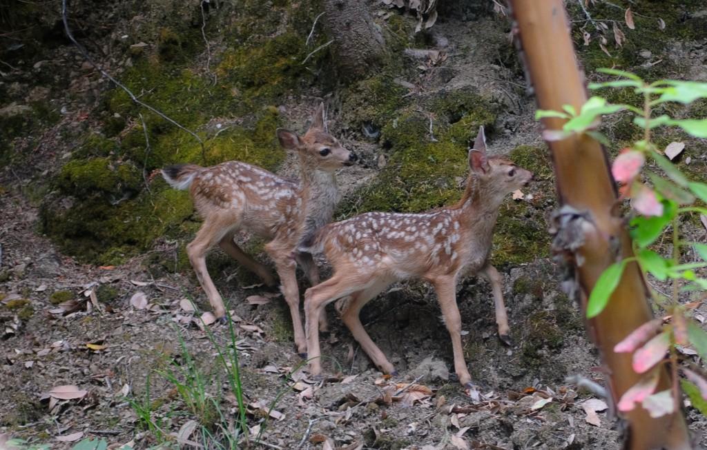Deer -1