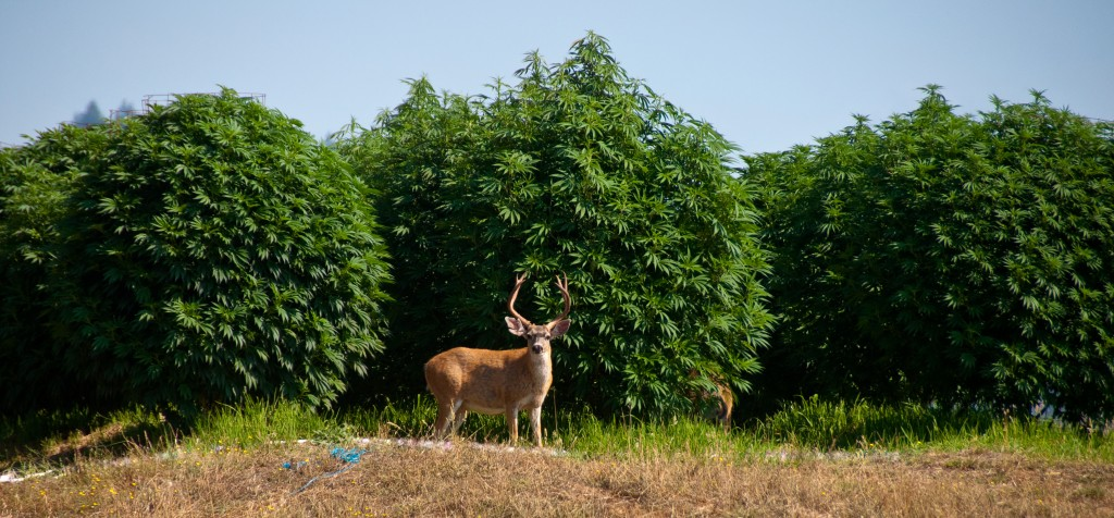 Buck and Marijuana garden