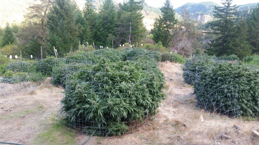 201504600 mj plants