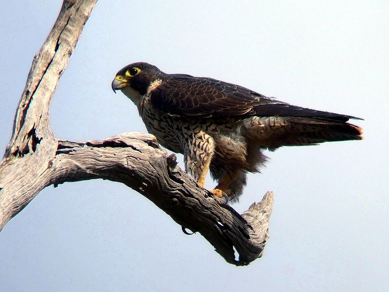 798px-Peregrine_Falcon_Kobble_Apr07