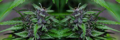 marijuana 1 feature