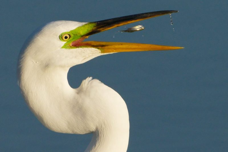 Egret with Fish Redwood Planet Media