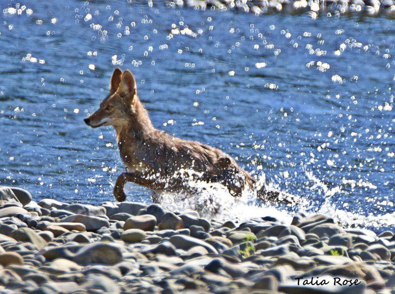 Talia Rose: Coyote