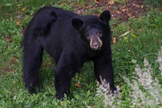 Bear Full Face 6835