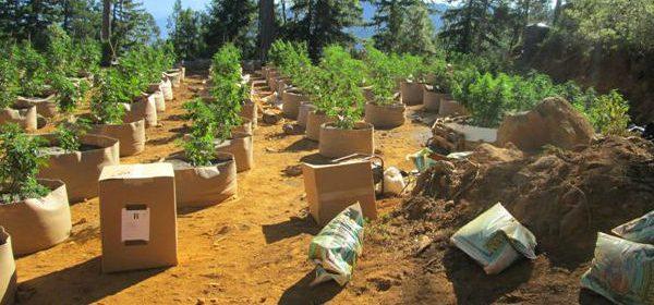 Marijuana-garden-large-graded-Feature Humboldt County Sheriff