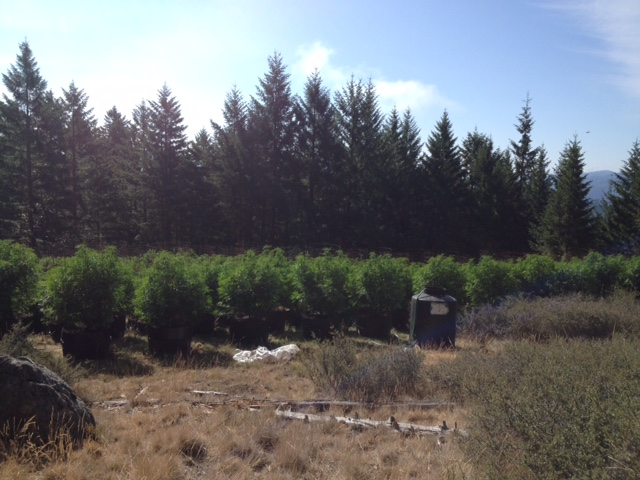 weitchpec Marijuana garden raided Sheriff's photo