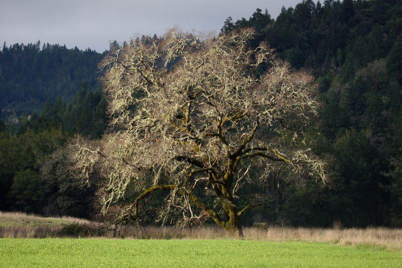 Southern Humboldt Community Park tree