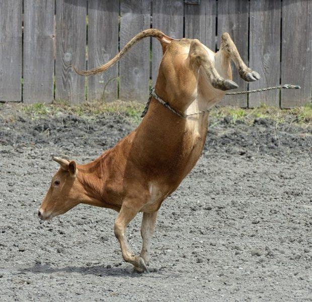 bucking calf