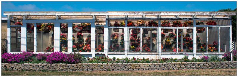 begonia_greenhouse_sallaway_0176