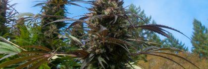 Marijuana garden buds harvest