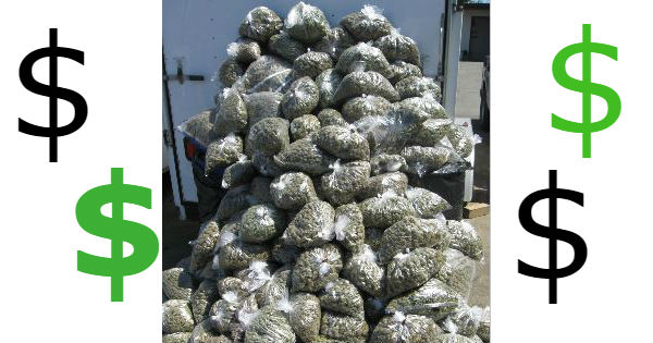 mountain of marijuana money