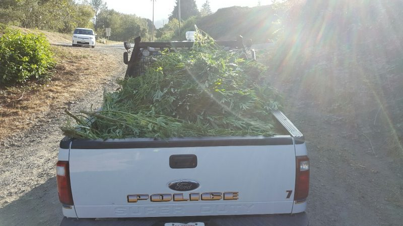 Truck bed full of marijuana