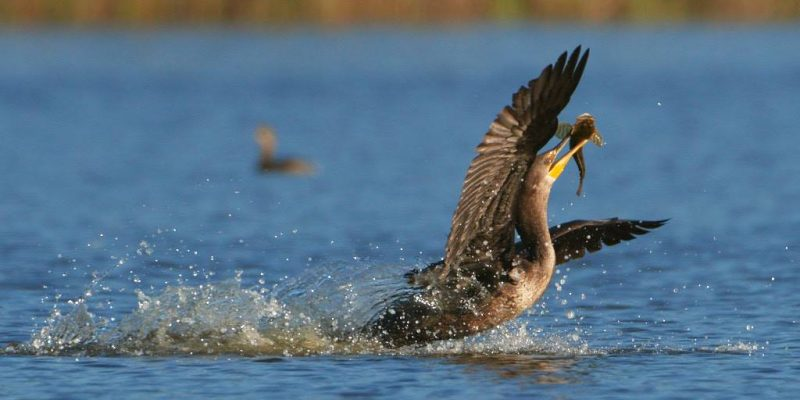 The cormorant makes a quick getaway with its sculpin and manages to eat the fish before its companions catch up. [Photo by Redwood Planet Media]
