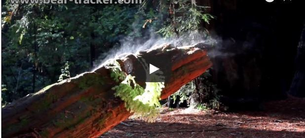 Redwood forest steaming in the sunlight after the rain.