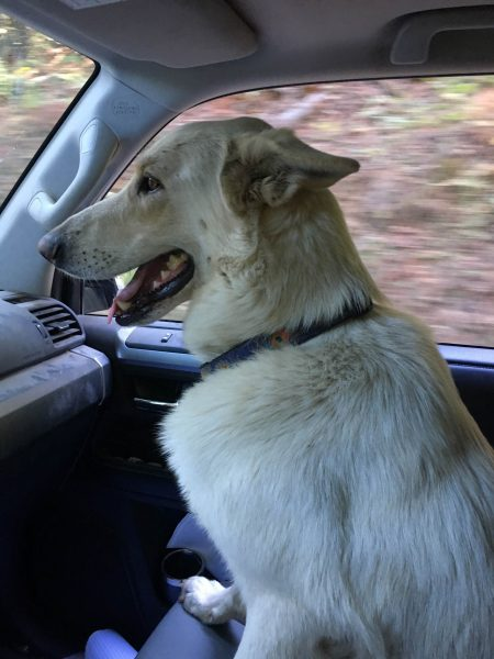 White dog in truck