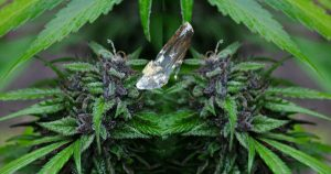 Glass slipper on marijuana