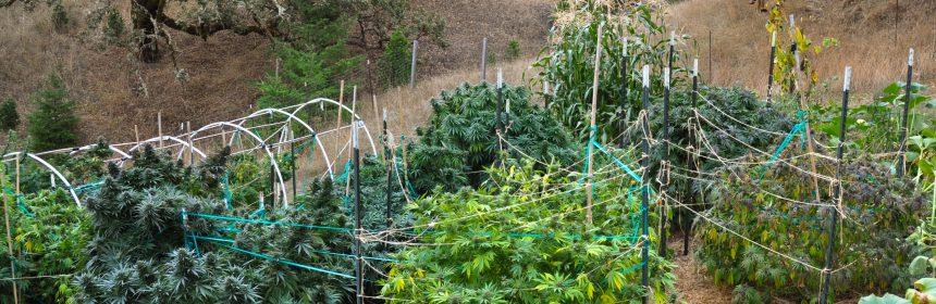 marijuana garden