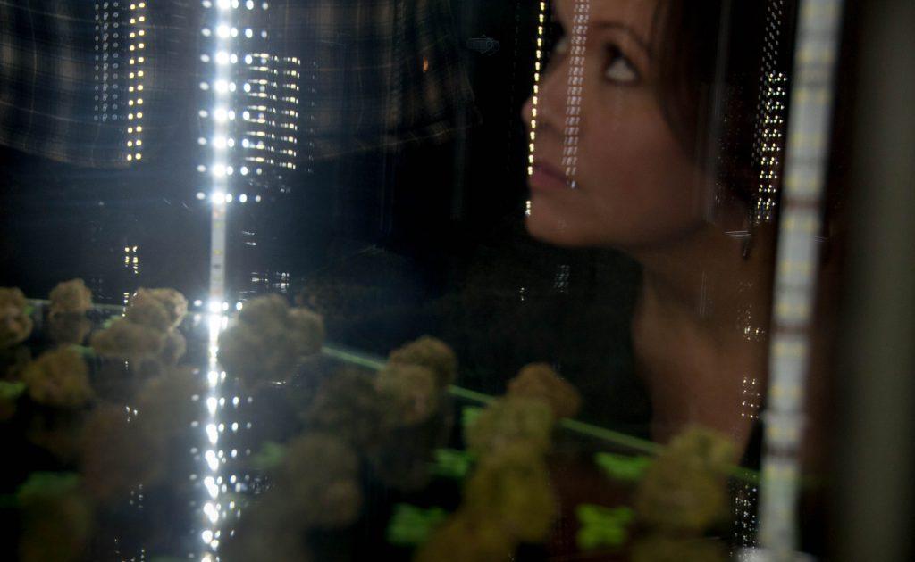 Woman looking at marijuana buds