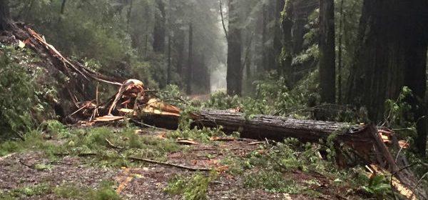 redwood fallen