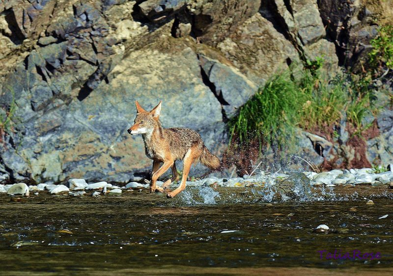 Coyote walking on water