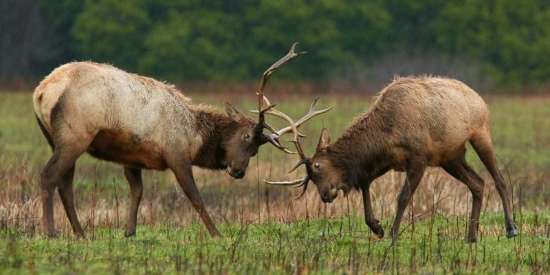 Male elk battling for dominance