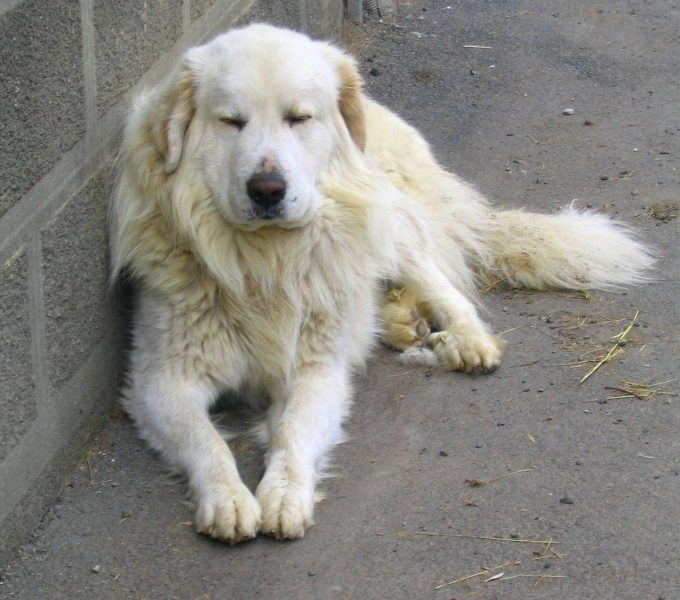 Great Pyrenees laying down