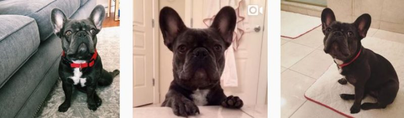lilo french bulldog