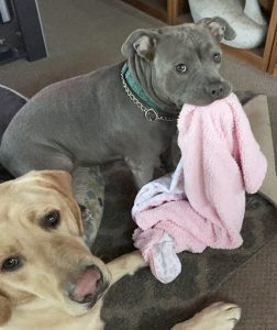 brown pitbull with pink towel