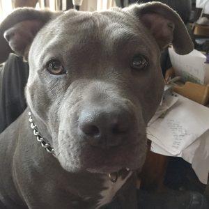 brown pitbull