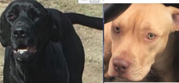 Carmle is an 11month old tan pitbull lab mix and neptune is a 3year old black lab/mastiff mix.