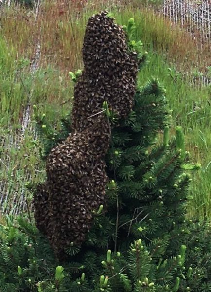 Bee swarm on a fir tree.