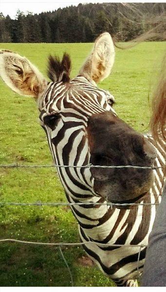 Zebra behind barbed wire