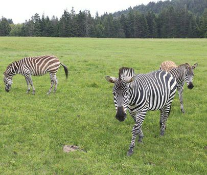 The three zebras of the Lost Coast.