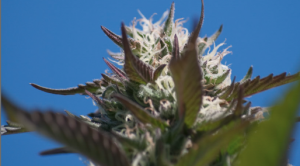 white hairs on marijuana against blue sky