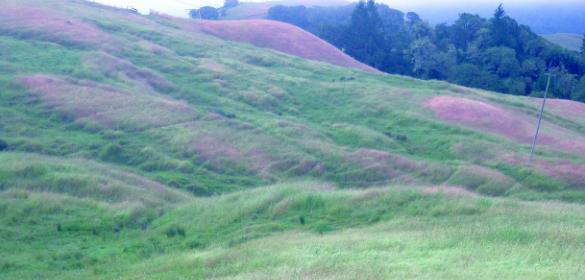 islands of medusahead grass