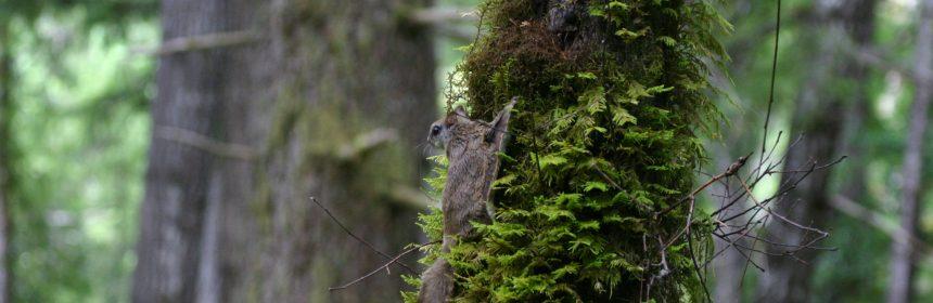 Humboldt flying squirrel.