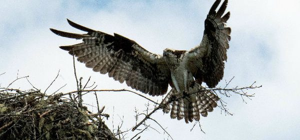 Osprey mom by Talia rose