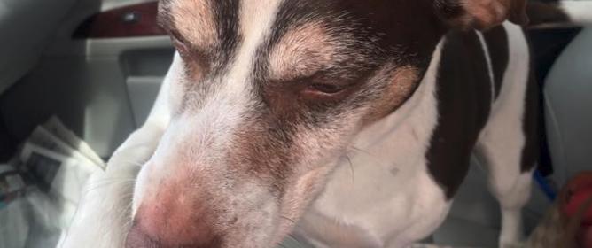 Wilson a beagle mix