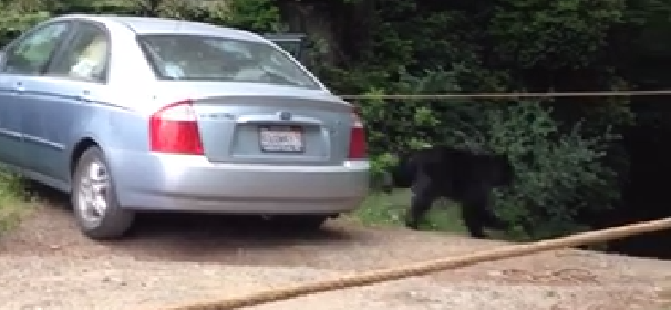 bear escaping from car