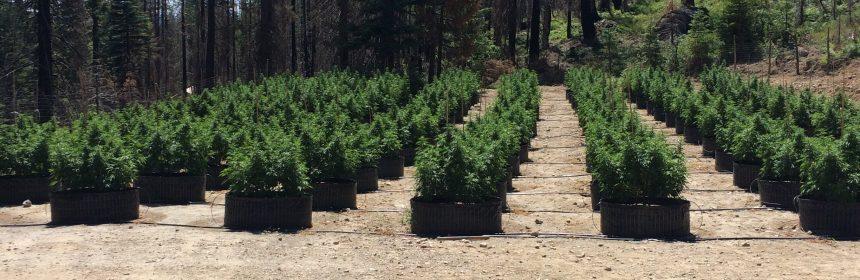 marijuana garden smart pots Humboldt Co sheriff