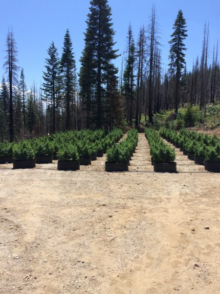 marijuana garden smart pots Humboldt Co sheriff