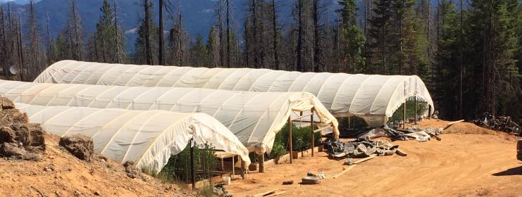 Greenhouses with marijuana
